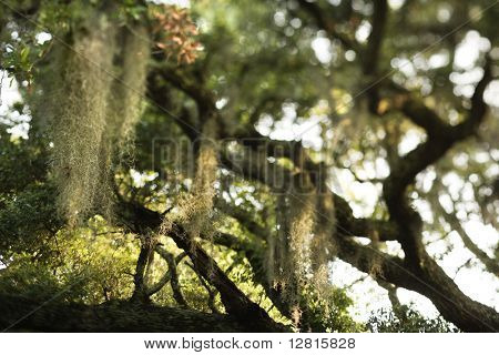 Spanish moss hanging from live oak tree on Bald Head Island, North Carolina.