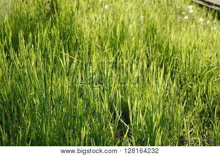 Grassblades closeup on a field