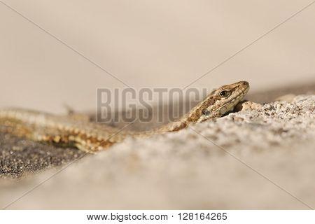 Small lizard sunbathing on the pavement