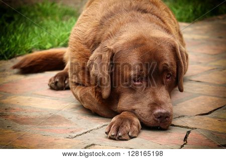 labrador retriever dog portrait