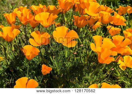 Orange poppies in a summer meadow on sunny day. Horizontal shot