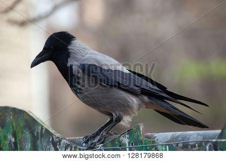 Hooded crow (Corvus cornix). Wild life animal.