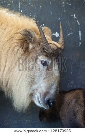 Golden takin (Budorcas taxicolor bedfordi). Wild life animal.