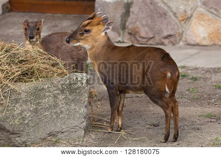 Chinese muntjac (Muntiacus reevesi), also known as the Reeves's muntjac. Wild life animal.
