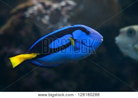 Blue surgeonfish (Paracanthurus hepatus), also known as the blue tang. Wild life animal.