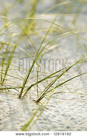 Beach grass in sand on Bald Head Island, North Carolina.