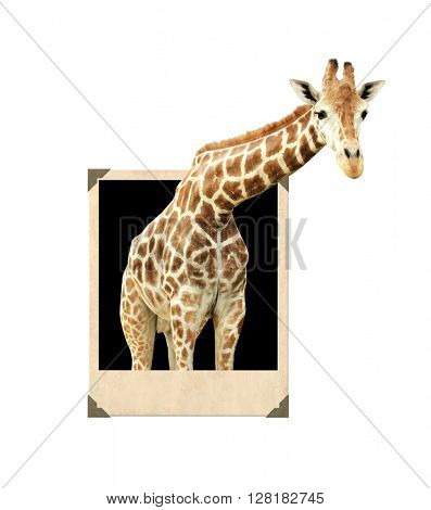Giraffe in vintage photo frame with 3d effect. Isolated on white background