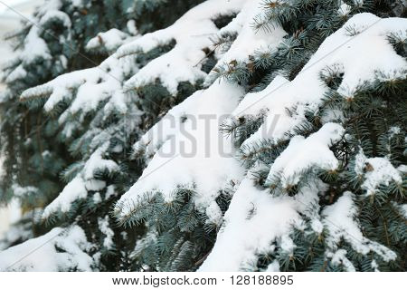 Fir tree covered with snow, closeup