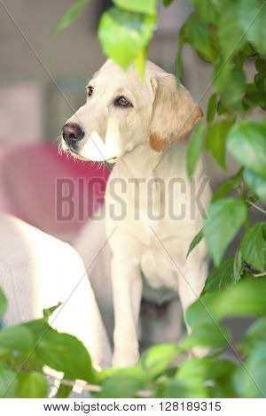 Cute Labrador dog with green leaves, closeup
