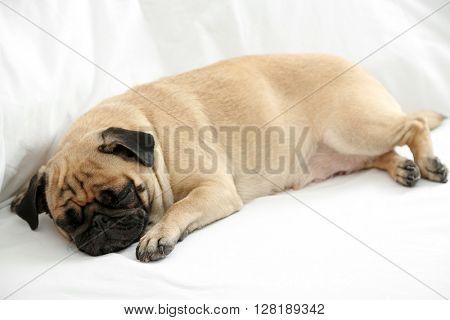 Pug dog sleeping in bed