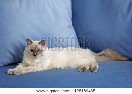 Siamese cat resting on blue sofa indoors