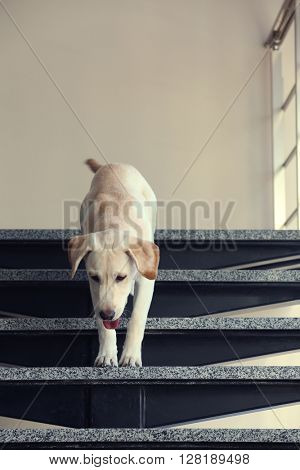 Labrador dog on the stairs, indoors