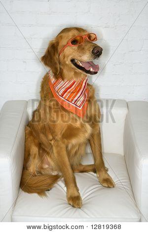 Golden Retriever dog wearing sunglasses and bandana.