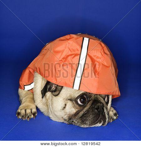 Pug wearing hoodie jacket.
