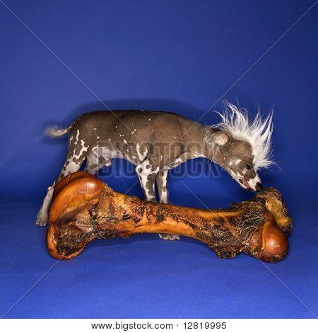 Chinese Crested dog riechenden großen Knochen.