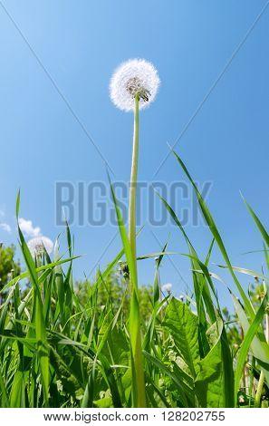 white dandelion in green grass under blue sky