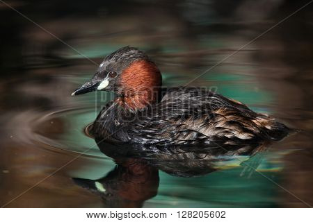 Little grebe (Tachybaptus ruficollis), also known as the dabchick. Wild life animal.
