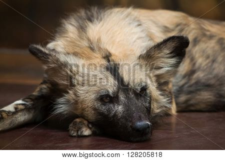 African wild dog (Lycaon pictus), also known as the African hunting dog. Wild life animal.