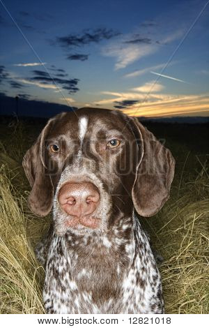 German Shorthaired Pointer in field of grass at sunset.