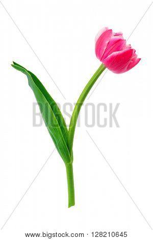 Beautiful tulip isolated on white background