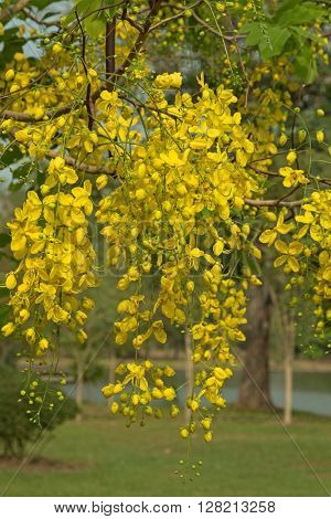 Beautiful yellow flowers of the Golden shower tree ( known as Cassia fistula ) with blurred pond in the park background during summer in Thailand