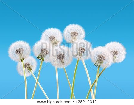 dandelion flower on sky background, spring landscape concept