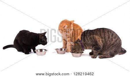 Three cats at their food bowls, one eating and two others watching her, on white