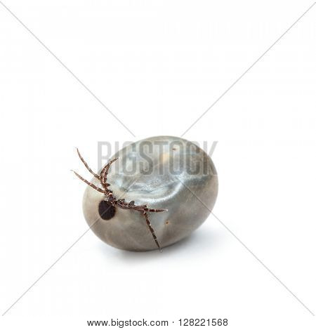 Engorged of blood Castor bean tick, Ixodes ricinus, a species of hard-bodied tick, against white background, tick on a white background upside down