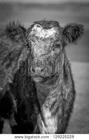 Portrait of hairy cow in the meadow