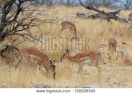 Herd Of Impala Antelope In Savanna