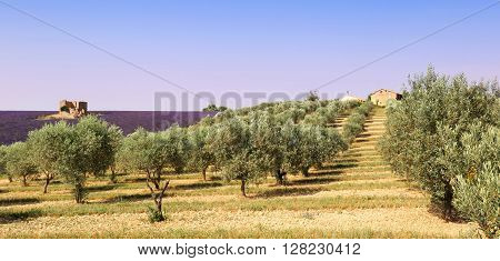 France landscape of Provence: olive trees and lavender field