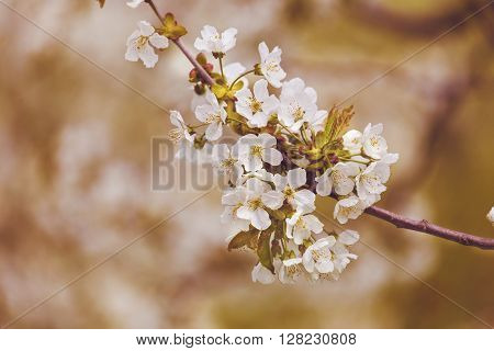 Blossoming cherry branch, spring garden, blossom flower.