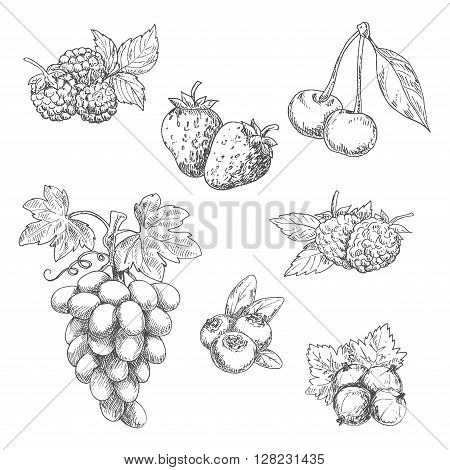 Flavorful fresh garden strawberries, grape vine with tendrils and bunch of ripe grapes, raspberries, cherries, blackberries, gooseberries and blueberries fruits sketches in engraving style. Great for kitchen interior or vegetarian dessert menu design usag