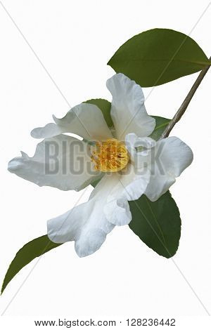 Tea oil camellia (Camellia oleifera). Called Oil-seed camellia also. Image of flower isolated on white background