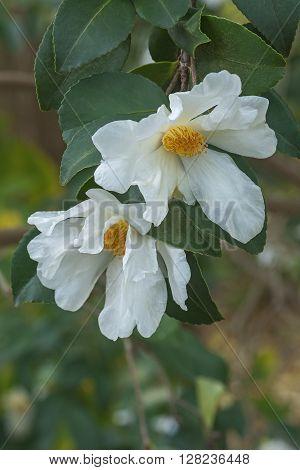 Tea oil camellia (Camellia oleifera). Called Oil-seed camellia also. Image of two flowers