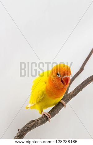 Yellow Lovebird Chick on branch white background