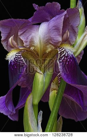 Hybrid German iris (Iris x germanica).Close up image of flower isolated on black background