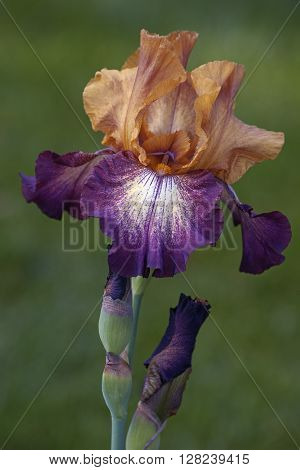 Hybrid German iris (Iris x germanica). Close up image of multicolored flower and bud