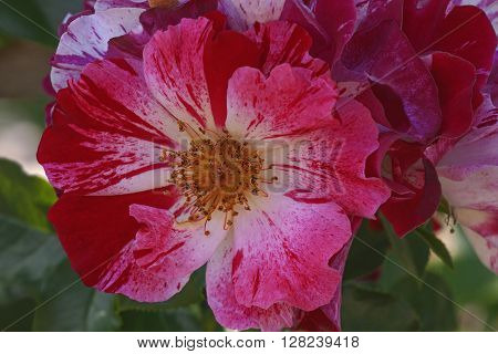 Hybrid rose (Rosa x hybrid). Close up image of single flower