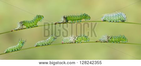Molting caterpillar of Atlas butterfly to next instar