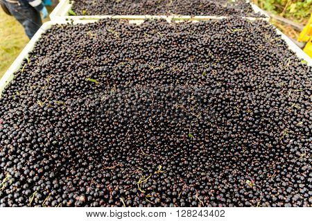 A large crop of rips and juicy harvested blackcurrants