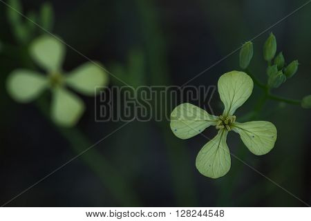 Close up photo of winter cress flower