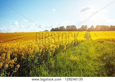 Magnificent views of the endless canola field on a sunny day. Picturesque and gorgeous scene. Location place Ukraine, Europe. Artistic picture. Beauty world.