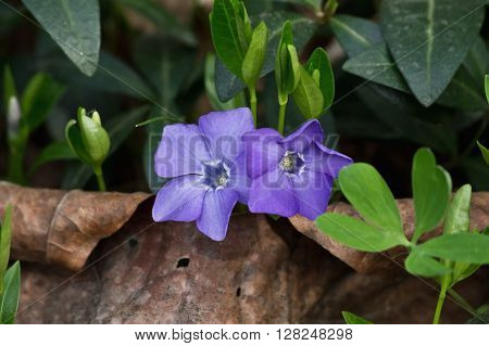 two Forest periwinkle flower in the green closeup