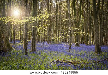 Sun shines through beech and birch trees on a Dorset hillside
