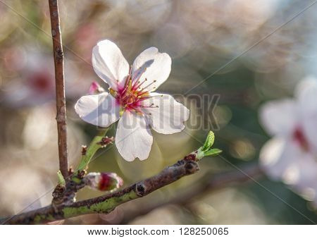 Blooming almond tree in spring flower on the branch. Selected focus