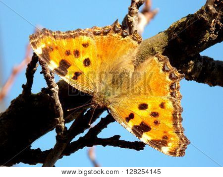 butterfly with open wings on the branch ** Note: Soft Focus at 100%, best at smaller sizes