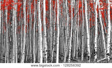 Tall forest of red leaf trees in black and white landscape