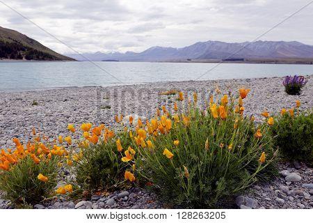Wild flowers blossoming across Lake Tekapo, New Zealand.