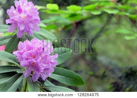 Beautiful purple azalea on green blurred background